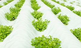 Small watercress plants growing in hydroponic culture Royalty Free Stock Images