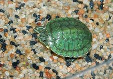 Small waterfowl, green turtle. A small waterfowl, a green turtle lives in an aquarium and basks in the sun Stock Photo