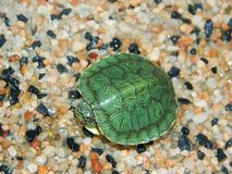 Small waterfowl, green turtle. A small waterfowl, a green turtle lives in an aquarium and basks in the sun Royalty Free Stock Image