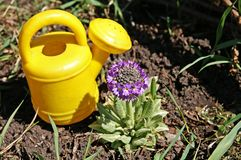 Small watering-can and small primrose. Child's plastic bright-yellow watering-can near a primrose flower in a spring garden, take by KONICA MINOLTA digital Royalty Free Stock Images