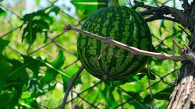 Small Watermellon stock footage