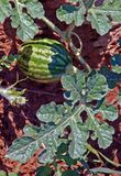 Small Watermelon in the Field. With clay red dirt and large leaves stock photography