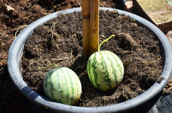 Small Watermelon in garden Stock Photos
