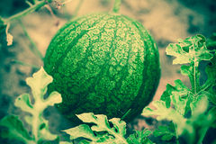 Small watermelon in the garden Royalty Free Stock Photography