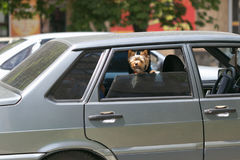 Small waved dog barking at the window of the car. Stock Image