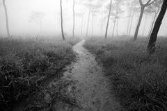 Small way in meadow to pine forest with fog background Stock Images
