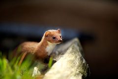 A small weasel. Looking for food Stock Image