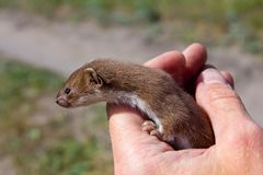 Small weasel Stock Image