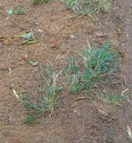 Small weeds survive in patch of dry soil royalty free stock photo