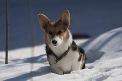 Welsh corgi puppy. A small welsh corgi puppy Royalty Free Stock Photo
