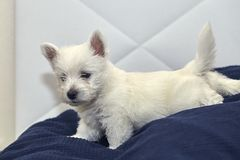 Small West Highland Terrier Puppy on Human Bed. Small Puppy West Highland Terrier lying on Human Bed royalty free stock photography