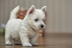 Small West Highland Terrier Puppy on Human Bed. Small Puppy West Highland Terrier lying on Human Bed stock photos