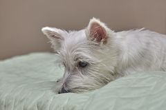 Small West Highland Terrier Puppy on Human Bed. Small Puppy West Highland Terrier lying on Human Bed stock images