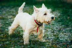 Small West Highland White Terrier - Westie, Westy Stock Images