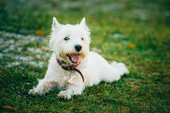 Small West Highland White Terrier - Westie, Westy Dog Stock Photography