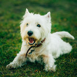 Small West Highland White Terrier - Westie, Westy Stock Photos