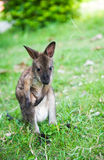 Small western grey kangaroos Royalty Free Stock Photo