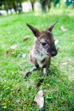 Small western grey kangaroos Stock Photography