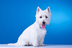 Small westie with mouth open. On a blue background Royalty Free Stock Image