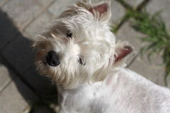 Small westie terrier puppy Royalty Free Stock Photography