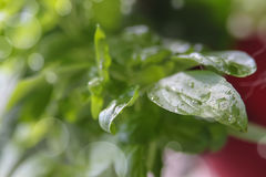 Small  wet Basil plant. Small basil herb plant growing in a pot with wet green leaves with bokeh background Royalty Free Stock Photo