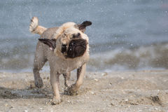 Small wet dog on a beach. A small wet pug mops carlino on a beach Royalty Free Stock Photo