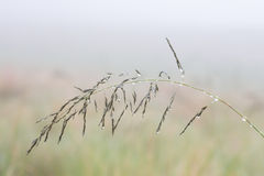 Small wet grass seed macro in early morning fog Royalty Free Stock Images