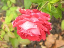Small wet red rose Royalty Free Stock Photos