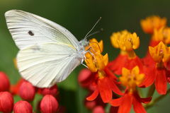 Small White. Butterfly and Asclepias flower Stock Photography