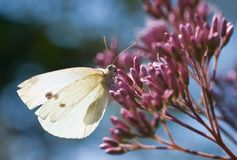 Small white. A small white resting in the sun Royalty Free Stock Image
