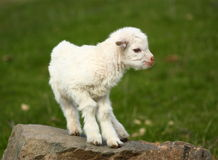 Baby goat on a rock. A small white baby goat (kid) outside on a rock Royalty Free Stock Images