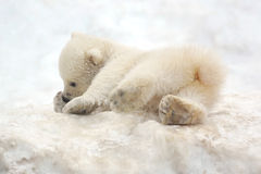 Small white bear cub. Still the clumsy Stock Image