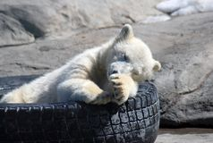 Small white bear sleeping. In the zoo Stock Images