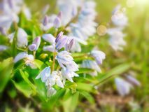 Small white and blue flowers on soft blur background outdoors close-up macro . Royalty Free Stock Images