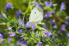 The small white on the blueweed Stock Photo