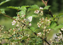 The small white on the bramble Royalty Free Stock Photo