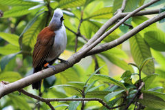 Small white and brown bird. Against green leaves at local zoo. white cheeked bulbul or pycnonotus leucogenys Royalty Free Stock Image