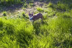 A small white and brown chihuahua dog in grass. Little dog in summer park. Outdoor walk of little doggie. Doggy haircut Stock Photography
