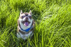A small white and brown chihuahua dog in grass. Little dog in summer park. Outdoor walk of little doggie. Doggy haircut. Mini-dog looking into the camera on Stock Photography