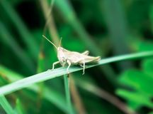 Small white with brown grasshopper sits on a grass. On a large blade of grass, closeup Royalty Free Stock Photo
