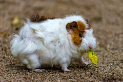 Small white and brown guinea pig eats his food. A Small white and brown guinea pig eats his food Stock Image
