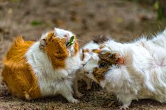 Small white and brown guinea pig eats his food. A Small white and brown guinea pig eats his food Royalty Free Stock Image