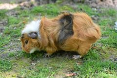 Small guinea pig in the meadow. Small white and brown guinea pig looking for food in the meadow royalty free stock photography