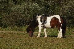 A small white and brown pony walks royalty free stock image