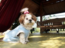 Small white brown shih tzu dog Stock Photo