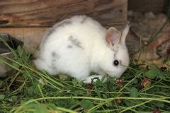 Small white bunny rabbit Royalty Free Stock Photos