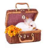 Small white bunny sitting inside of picnic basket Royalty Free Stock Images