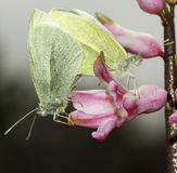 Small white butterflies mating / Pieris rapae Royalty Free Stock Photography