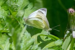 Small white butterflies Pieris rapae mating royalty free stock image