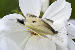 Small White Butterflies (Pieris rapae) mating on White Cosmos Royalty Free Stock Images